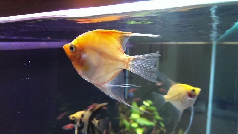 Gambar Ciri Ciri Ikan Hias sakit Atau Stres-Ikan Manfish