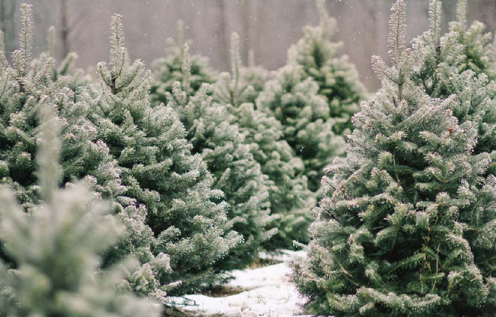 I vantaggi di acquistare un albero di Natale vero