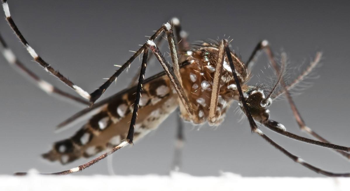 Zanzare geneticamente modificate contro la malaria, effetti devastanti?