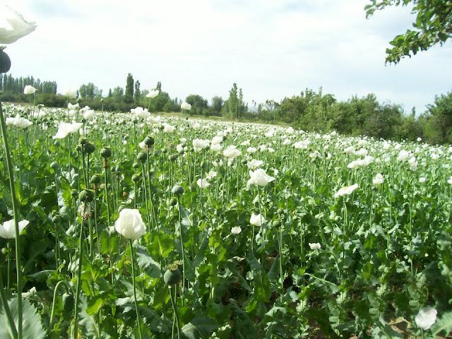 Afyonkarahisar Haşhaş Tarlası, opium poppy field