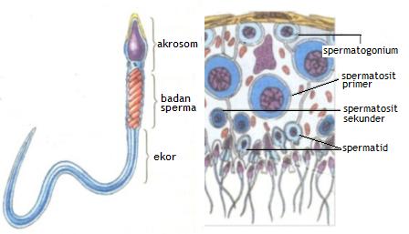 Bagian Organ Alat Reproduksi Pria dan Fungsinya