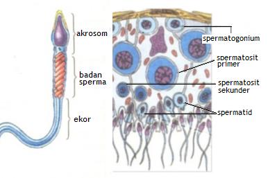 MATERI BIOLOGI: Bagian Organ Alat Reproduksi Pria dan Fungsinya