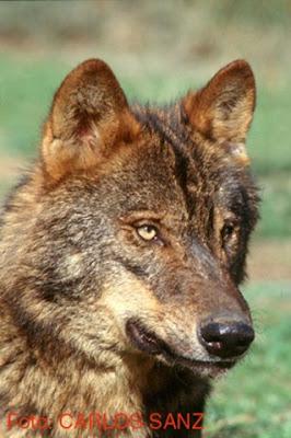 Detalle de la cabeza de un lobo