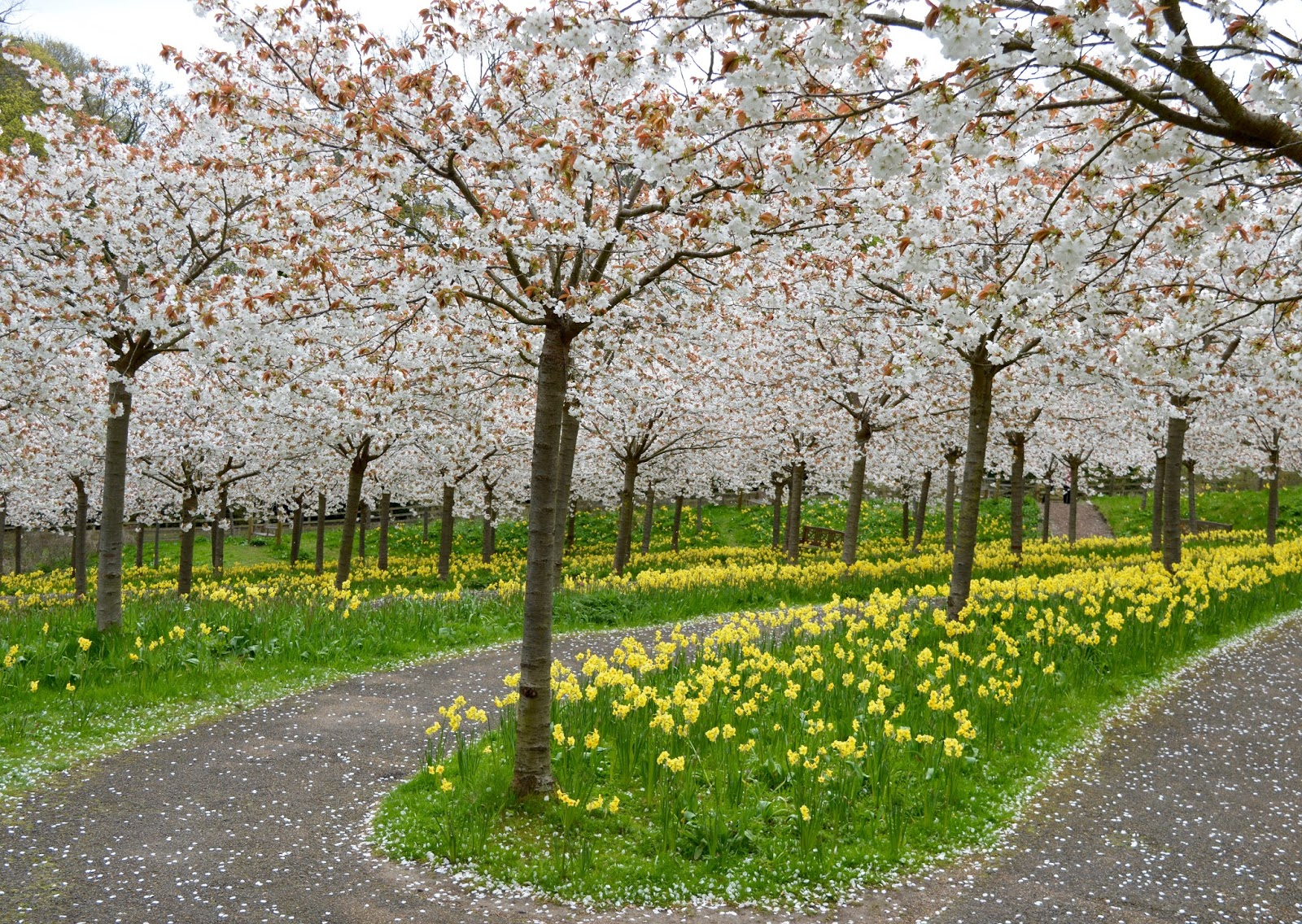 The Cherry Blossom Orchard at The Alnwick Garden  - petals on the ground