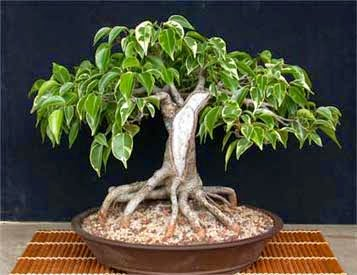 Cuidados Bonsai Fucus Arbol Ideal Para Principiantes Verde Jardín