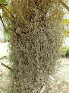 Coccothrinax crinita - Palmier à crinière