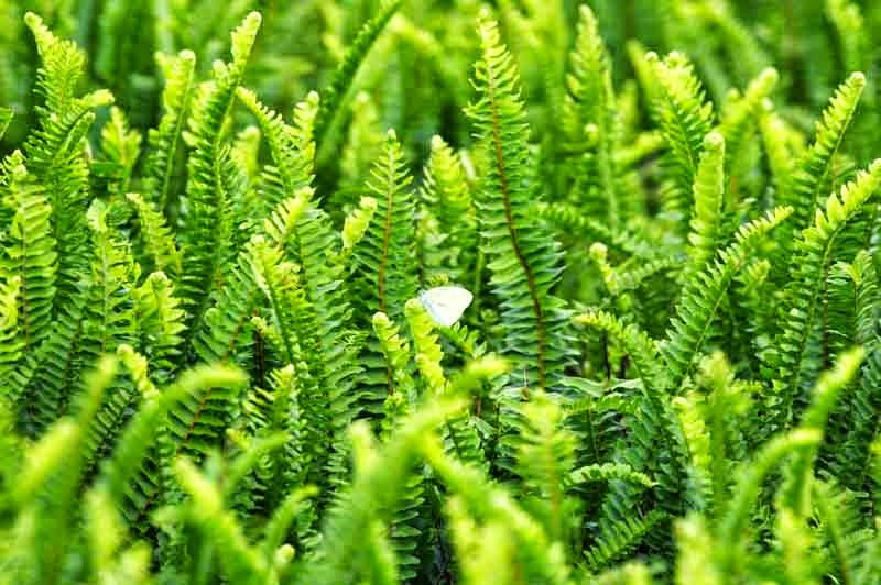 Cordifolia auriculata, ferns