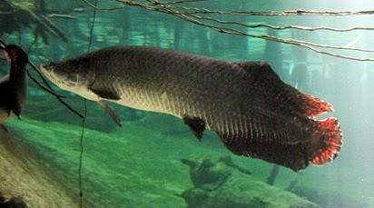 Umpan Jitu Mancing Ikan Arapaima