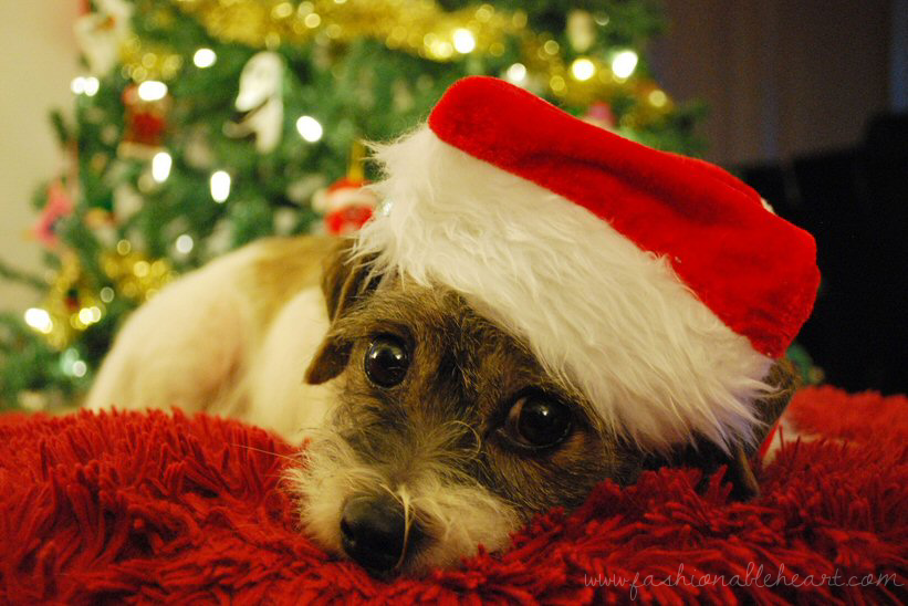 pets, border terrier, jack russell terrier, rescue, santa paws, bbloggers, bbloggersca, christmas, santa, dog