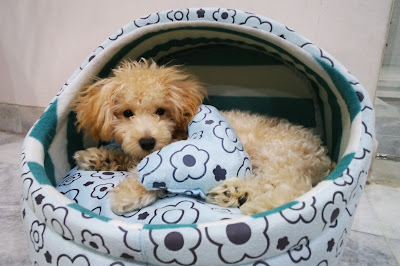 Peanut the poodle and his cozy home