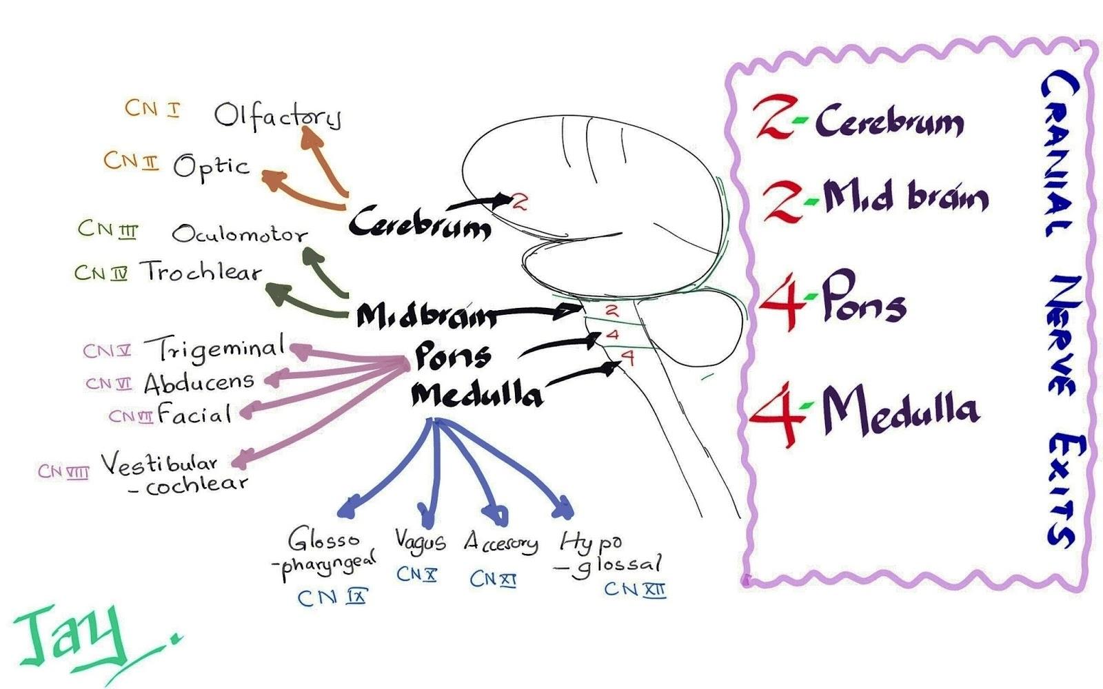 Medicowesome: Cranial Nerve Exits Mnemonic (2 2 4 4 )