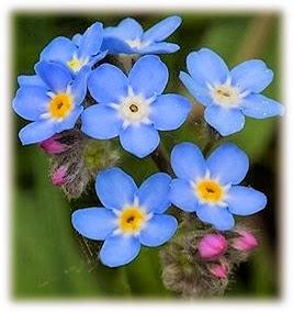Naylamp Abracitos Leyenda Sobre La Flor No Me Olvides