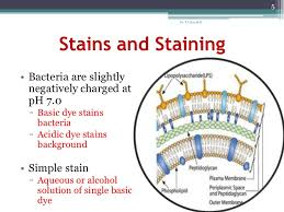 Staining Method, Simple Staining, Microbiology Staining
