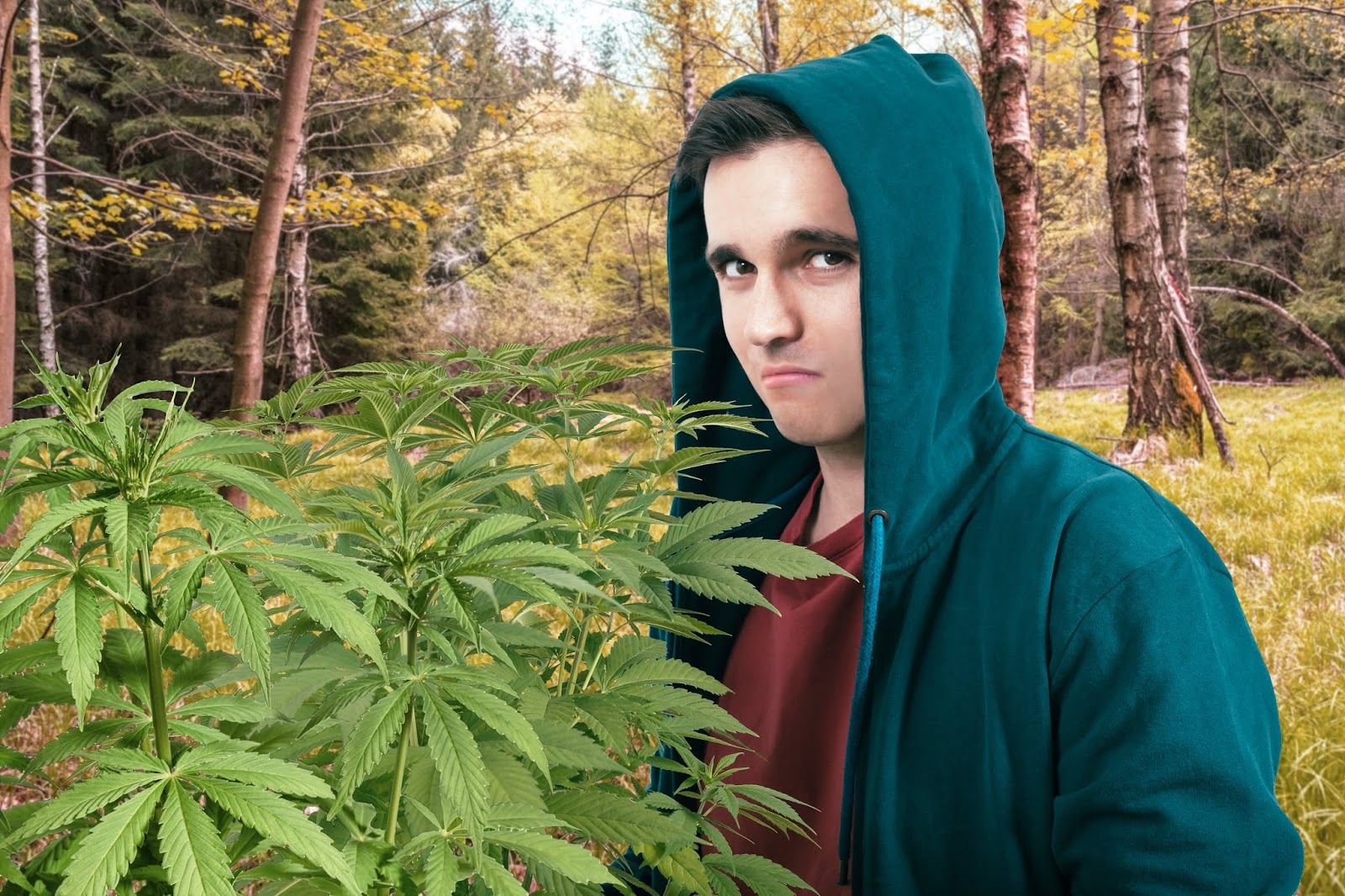 [Obrazek: Cannabisernte3.jpg]