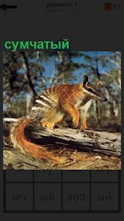 На бревне в лесу сидит сумчатый зверек с хвостом коричневого цвета