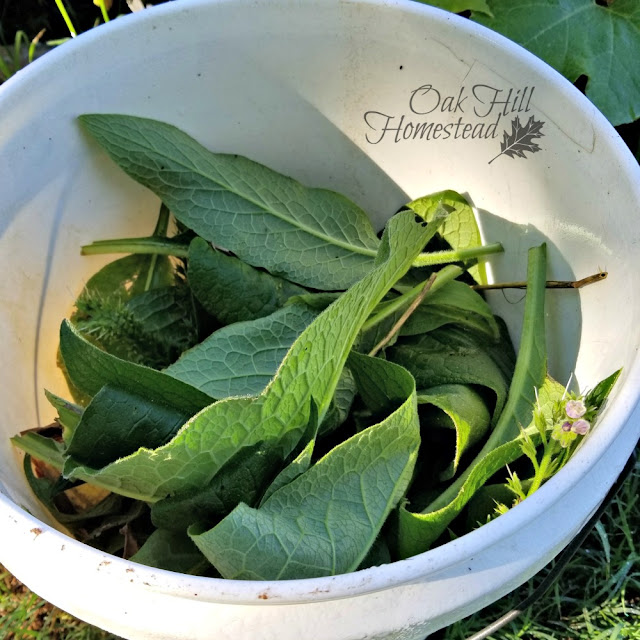 To make comfrey tea fertilizer, fill a 5-gallon bucket with chopped comfrey leaves and fill with water.