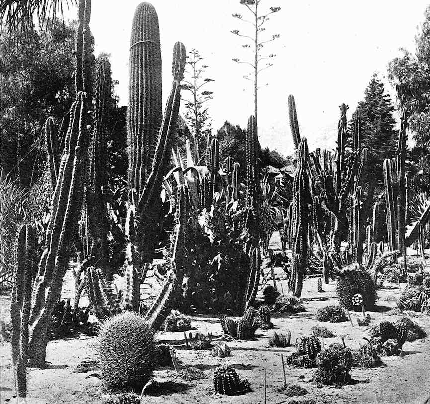 a photograph of a cactus garden, 1916
