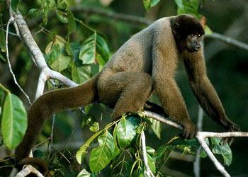 Geoffroy´s Wolly Monkey