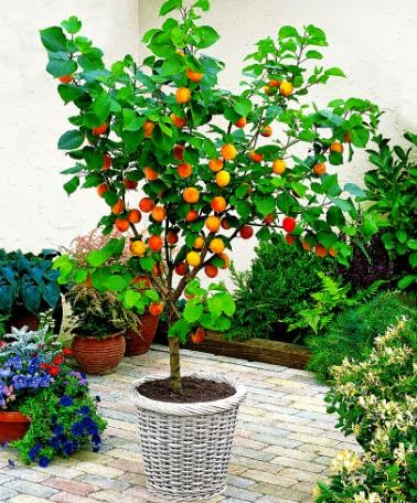 fruit slice dwarf fruit trees