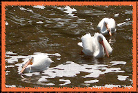 Three pelicans feeding, Wascana Creek, Regine, SK
