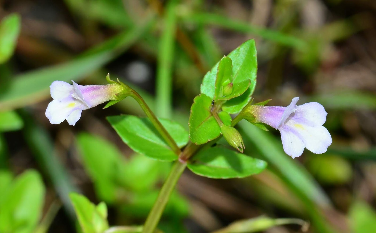 定經草(心葉母草)Lindernia anagallis (Burm.f.) Pennell 【母草科】