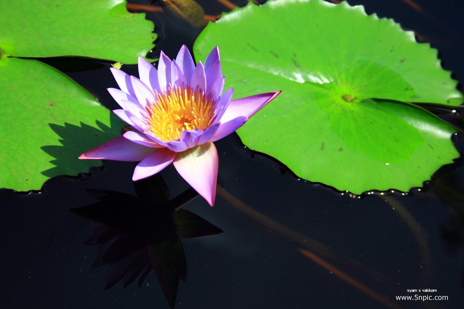 5npic Blue Lotus