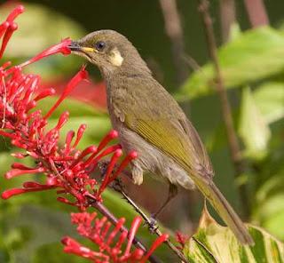 Myzomela Anggun atau graceful honeyeater (Meliphaga gracilis) ini adalah spesies burung dari keluarga besar Meliphagidae yang dikelompokkan dalam Genus Meliphaga