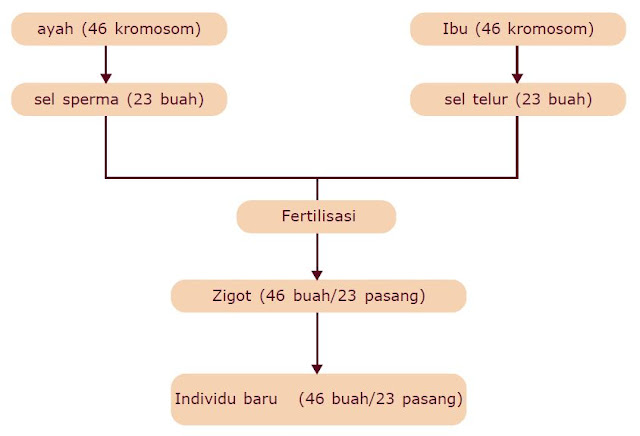 Pengertian Kromosom dan Jumlah Kromosom pada Manusia