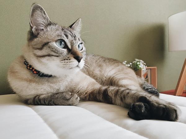 新しいベッドの上でくつろいでいるシャムトラ猫