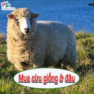 Mua cừu giống ở đâu