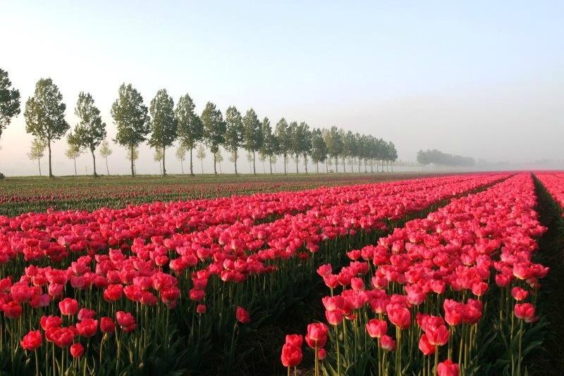 Campos de tulipanes en Paises Bajos