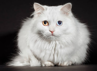 Turkish Angora Odd Eyed