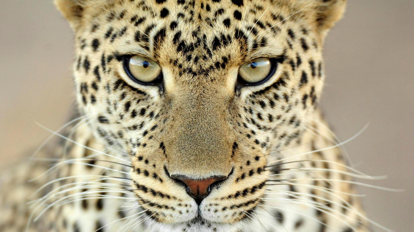 Cheetah HD Wallpapers | Latest HD Wallpapers