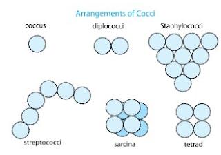 Definisi Beserta Ciri dan Bentuk Bakteri Kokus