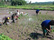 Percepat Masa Tanam, Babinsa Bantu Petani Tanam Padi