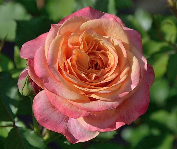 La Villa Cotta сорт розы фото