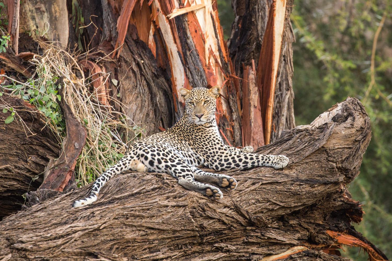 Un leopardo en Samburu