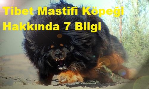 Tibet Mastifi Köpeği Hakkında 7 Bilgi