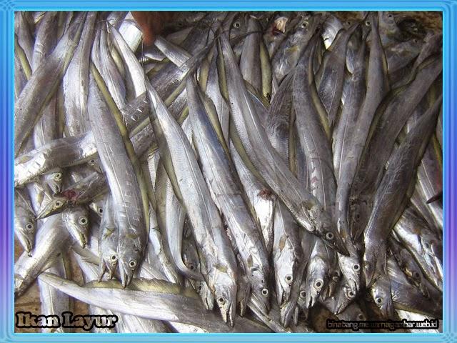 gambar ikan layur