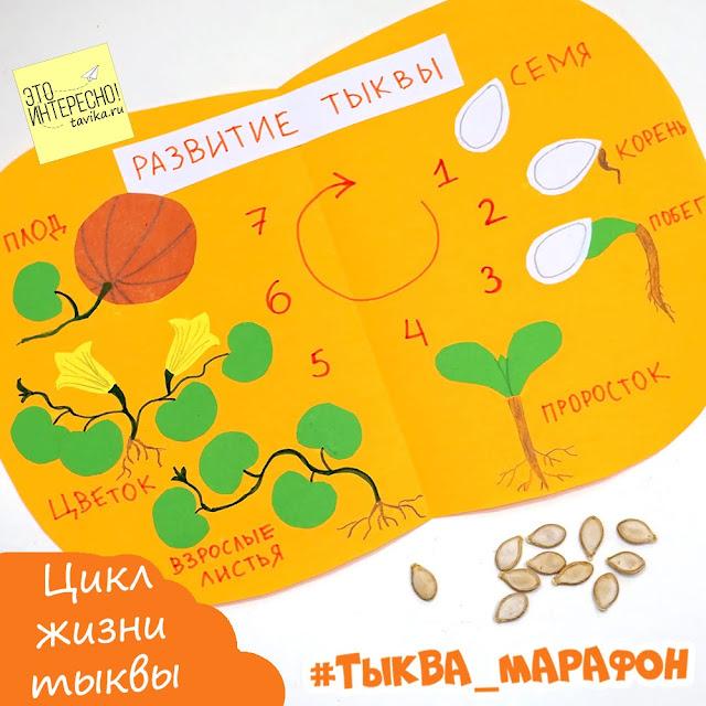 Жизненный цикл растений на примере тыквы