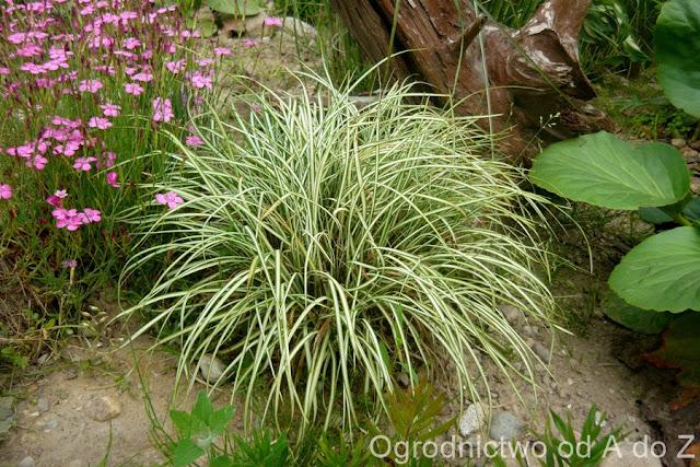 Carex ornithopoda 'Variegata'