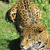 Amazing facts about a jaguar