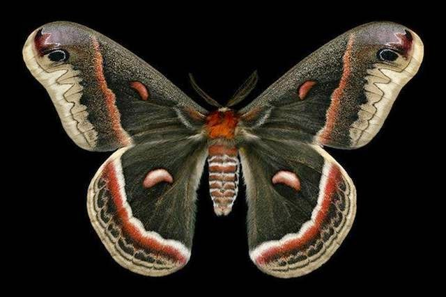 Majestic Moths By Jim des Rivières