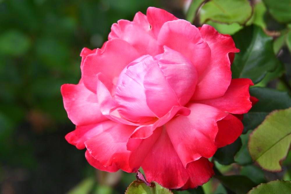 Kumpulan Gambar Bunga Mawar Keren Bunga Id