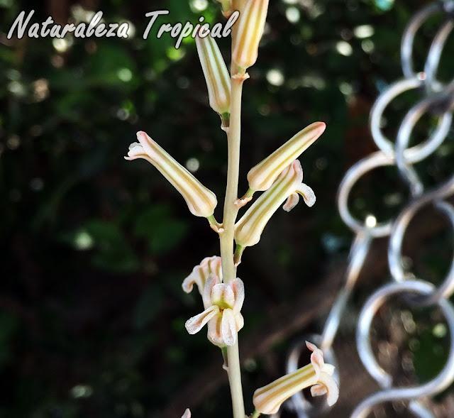 Floración de la planta Piel de Cocodrilo, Haworthia limifolia