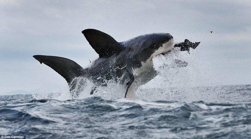 Perfecto Diagrama Anatomía Del Tiburón Bosquejo - Imágenes de ...