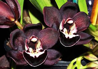 Gambar Bunga Anggrek Hitam (Black Orchid Flowers) 9000