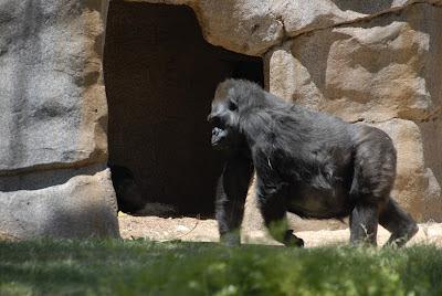 Safari Park Gorilla: LadyD Books