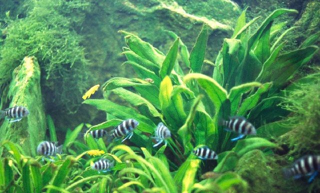 Tanaman Paludarium Amazon sword plant