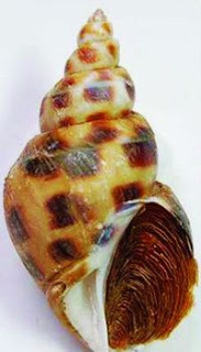 sweet snail : ốc hương (sơ-quýt sơ-nây-lơ)